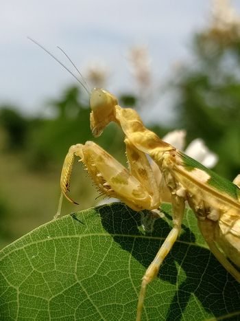 Leaf Insect Close-up Animal Themes Plant