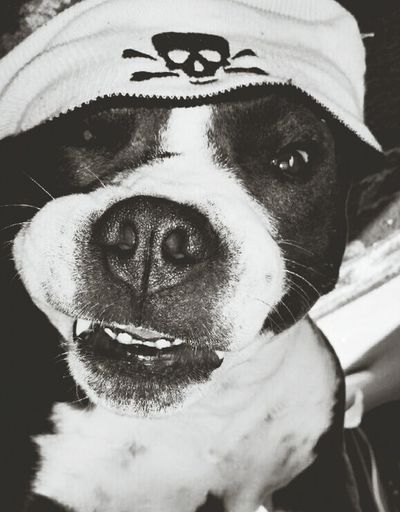 Pitbulls rock. My Dog Is Better Than Your Dog Rescuedogs Pit Bull Mastiff I Love My Dog Black And White Photography