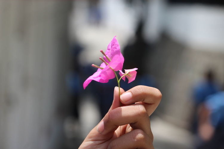 Cropped hand holding fresh pink flower