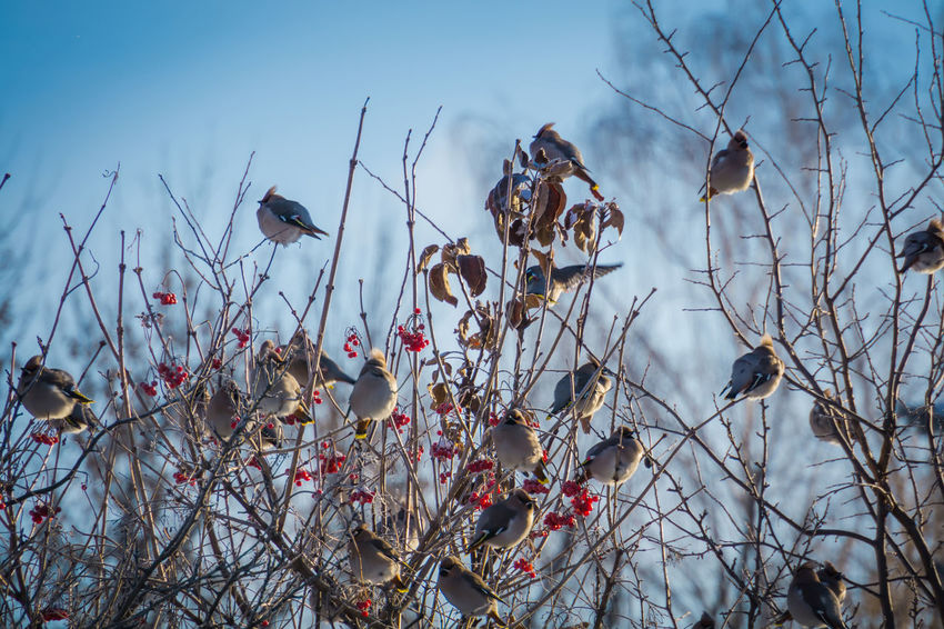 Wintertime Animal Themes Animal Wildlife Animals In The Wild Beauty In Nature Bird Branch Cotton Plant Day Flower Flowering Plant Focus On Foreground Fragility Group Of Animals Growth Nature No People Outdoors Plant Sky Tree Vertebrate Vulnerability  Waxwing Waxwings