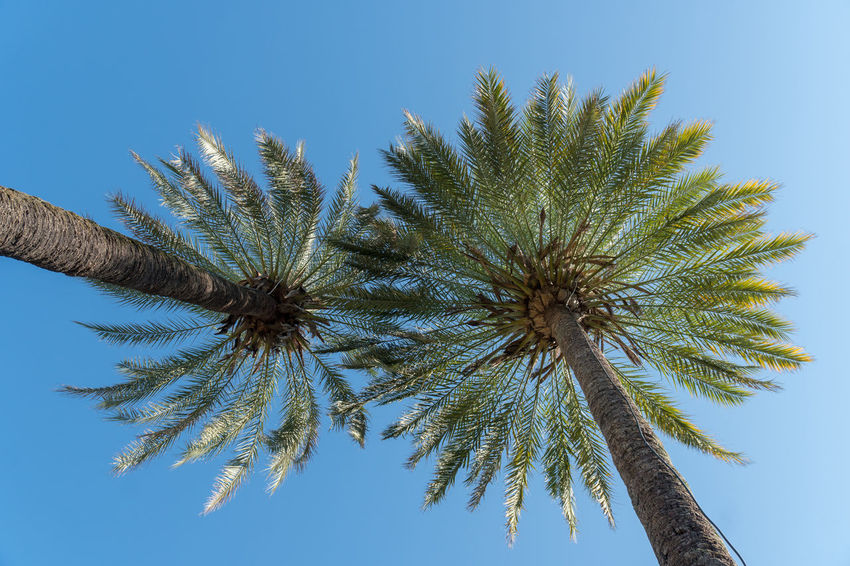 Palmtrees Beauty In Nature Blue Branch Clear Sky Day Directly Below Growth Low Angle View Nature No People Outdoors Palm Leaf Palm Tree Plant Sky Sunlight Tall - High Tranquility Tree Tree Trunk Tropical Climate Trunk