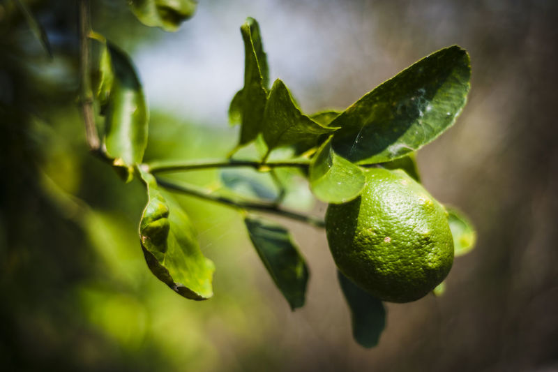 Close-up of lemon on tree