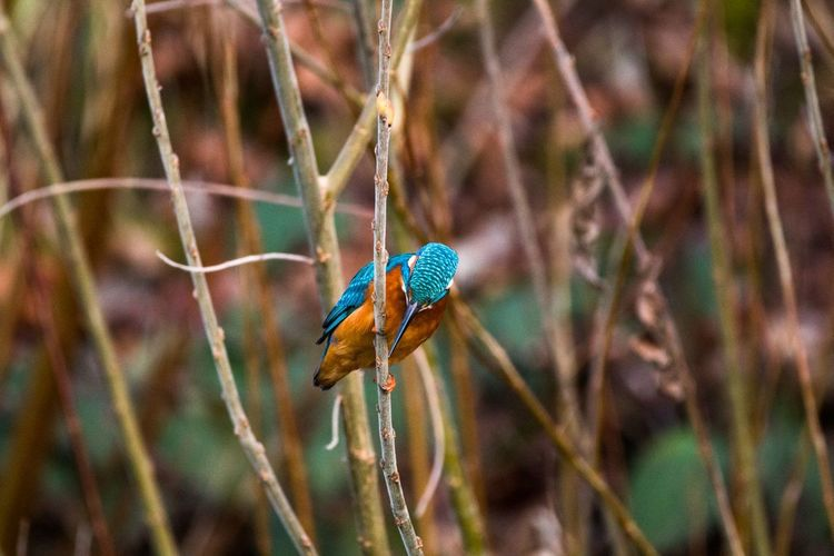 Common kingfisher perching on stem
