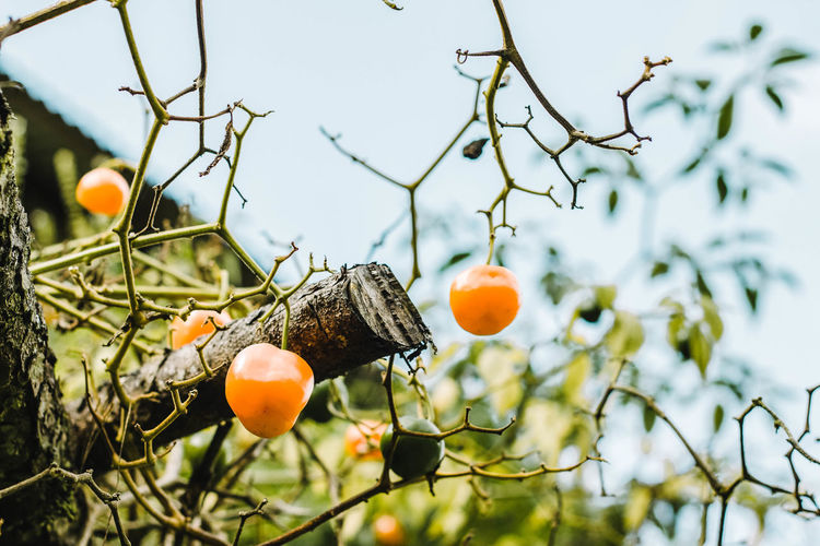 Árbol de Chile Cera. Chile Branch Cera Day Focus On Foreground Food Food And Drink Freshness Fruit Fruit Tree Growth Healthy Eating Low Angle View Nature No People Orange Orange Color Orange Tree Outdoors Plant Ripe Tree Twig Wellbeing