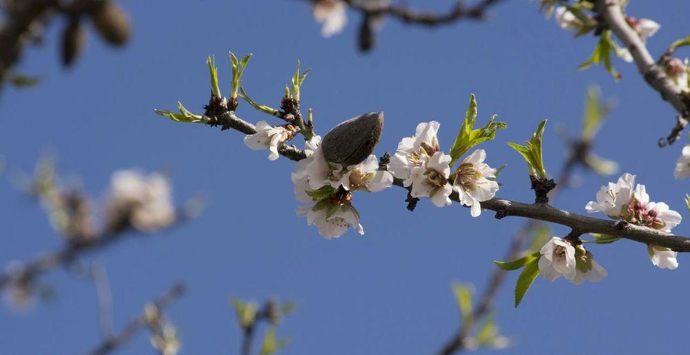 Spring Time Almond Tree Enjoying Life Flower Beauty