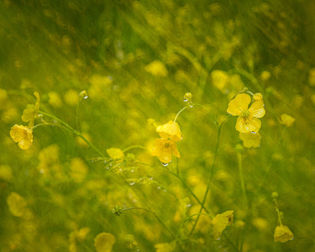 Close-up of wet yellow flowering plant on field