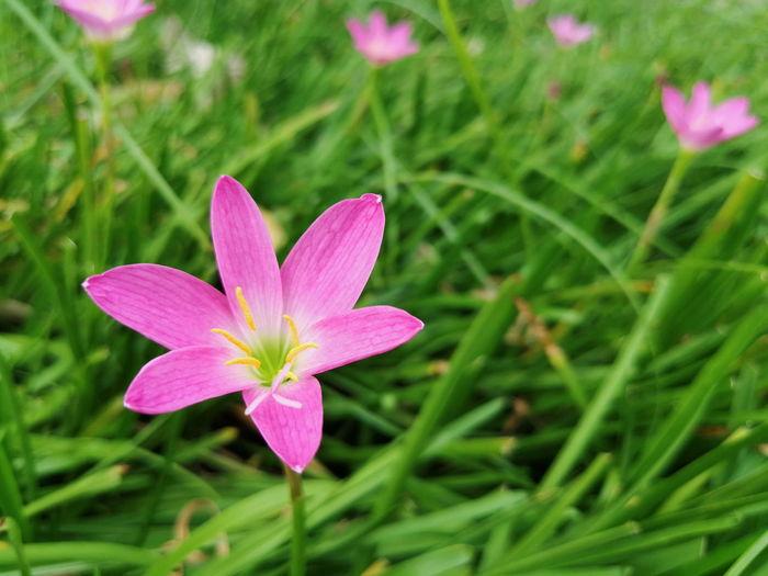 Close-up of pink crocus flower on field