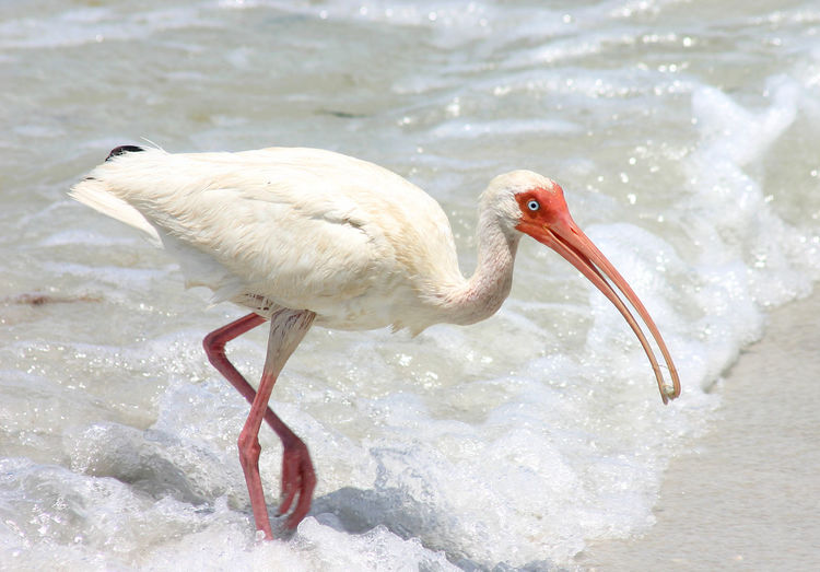 Ibis In Sea On Sunny Day