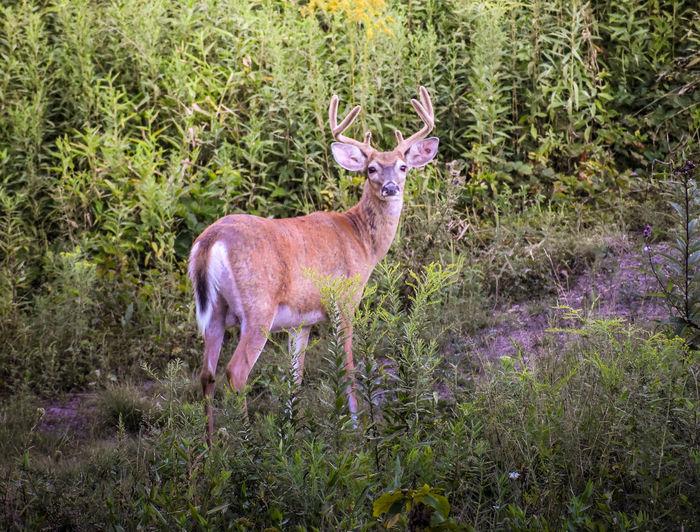 Portrait of deer standing on grass