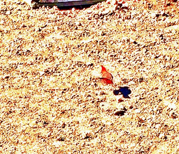 Cardinal on the move Countryside Life SonoraArizona Farmer's Life Taking Photos The Farm And Its Life CdObregón Flying Bird Chuylui Photography