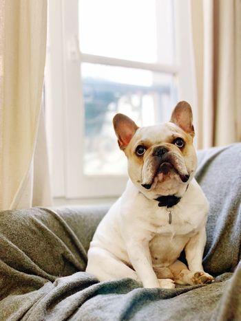 French Bulldog #frenchbulldoglove #Frenchie #frenchbulldog EyeEm Selects Canine One Animal Domestic Mammal First Eyeem Photo
