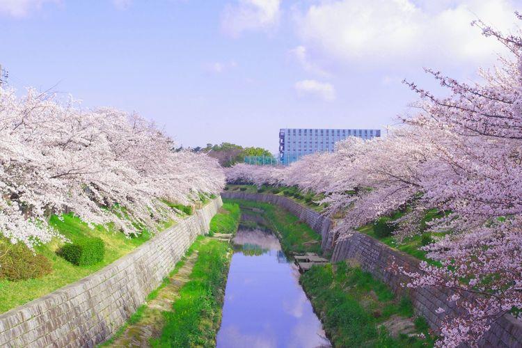 Day Flower Nature No People Outdoors Sakura Sky Water