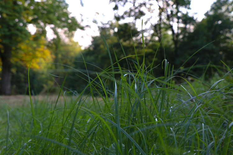 Grass in the evening (focus on foreground) Beauty In Nature Blade Of Grass Close-up Day Evening Field Focus On Foreground Fragility Freshness Grass Green Color Growth Land Nature No People Outdoors Plant Selective Focus Tranquil Scene Tranquility Tree