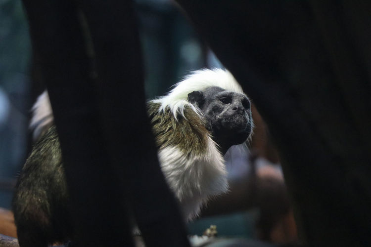 Monkey with white hair Animal Animal Head  Animal Themes Animal Wildlife Animals In Captivity Animals In The Wild Canine Close-up Day Domestic Domestic Animals Focus On Foreground Mammal Monkey No People One Animal Outdoors Pets Primate Vertebrate Zoo
