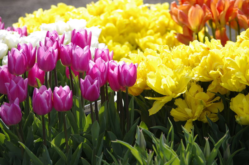 Close-up of pink crocus flowers blooming outdoors