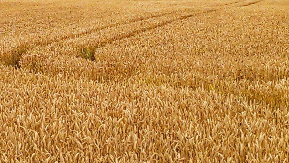 Corn Field Foods Crops Wheat Field
