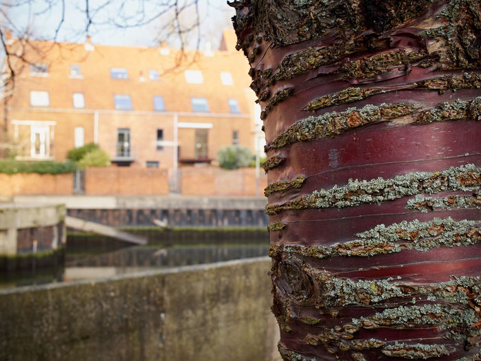 Beautiful Bark 02. This wonderful specimen is a Tibetan Cherry. The bark is quite extraordinarily lovely. I walk past it quite often, it's located near the Art school in Norwich. Olympus Pen F with 17mm f1.8. Edit in Capture One pro. Architecture Bark Bark Texture Beauty In Ordinary Things Building Exterior Built Structure Check This Out Cherry Tree Close-up Cultures Day EyeEm Best Shots EyeEm Nature Lover Nature No People Outdoors Pattern, Texture, Shape And Form Red Surfaces And Textures Travel Destinations Tree Winter