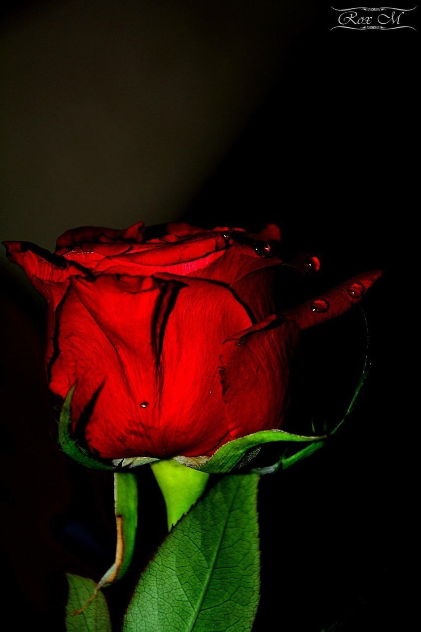 flower, petal, red, flower head, beauty in nature, nature, fragility, rose - flower, close-up, no people, black background, night, freshness, growth, outdoors