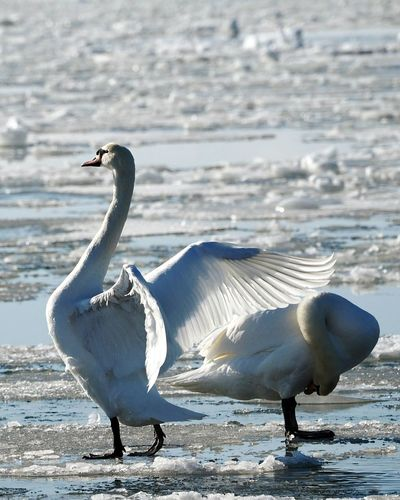 Bird Animals In The Wild Animal Wildlife Full Length Bathing Swan Swan Spreading Wings Spread Wings Beautiful Nature Animal Themes One Animal Beauty In Nature Beauty In Nature Sea Bird Frozen Sea Cold Temperature Sunlight Winter Nature Outside Animals In The Wild Outdoors Nature Sea Swansea