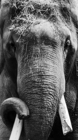 Animal Themes Animal Trunk Animal Wildlife Animals In The Wild Close-up Day Elephant Mammal Nature No People One Animal Outdoors Tusk