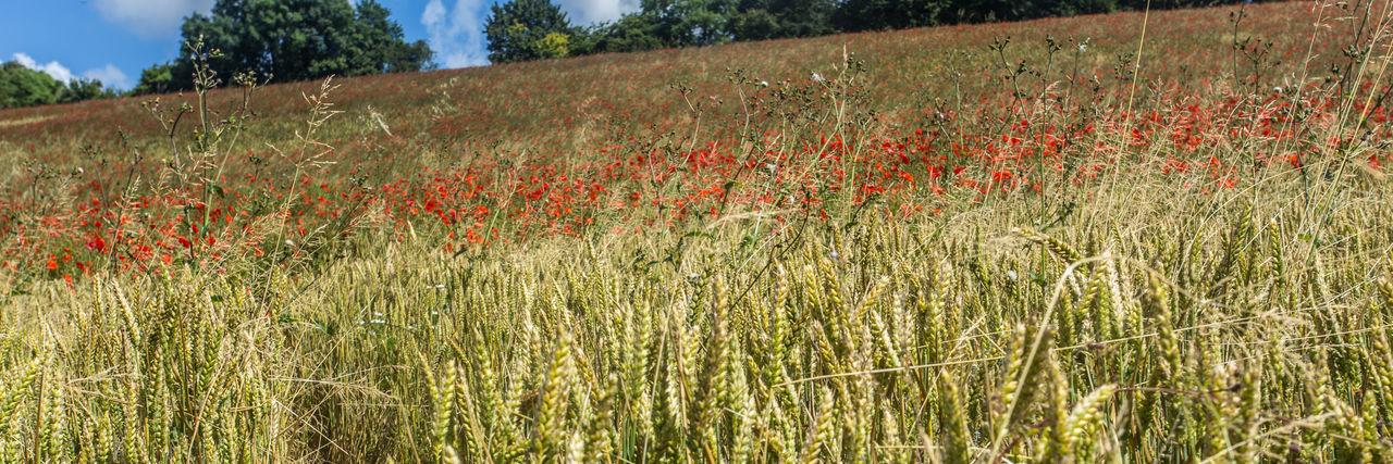 Red flowers growing in field