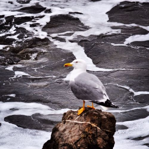 Bird Animal Seagull Photo Alghero