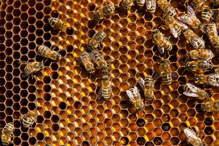 Honeycomb APIculture Animal Wildlife Bee Animal Themes Animals In The Wild Beehive Beauty In Nature Backgrounds Animal Full Frame No People Invertebrate Group Of Animals Insect Pattern Close-up Honey Bee Large Group Of Animals Geometric Shape