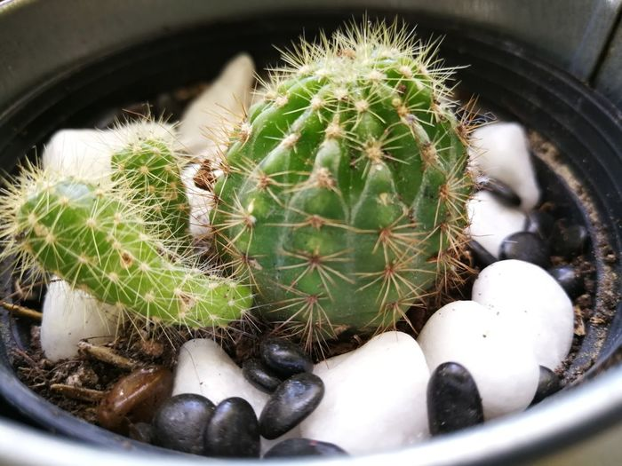 mini cactus for indoor plant Cactus Thorn Close-up Plant Green Color Sharp