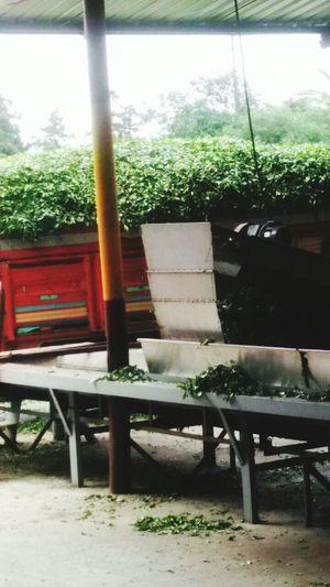 Rize. Cay Bahceden Toplandi Toplanan Cay Kamyonla Fabrikaya Geldi Işleme Devam