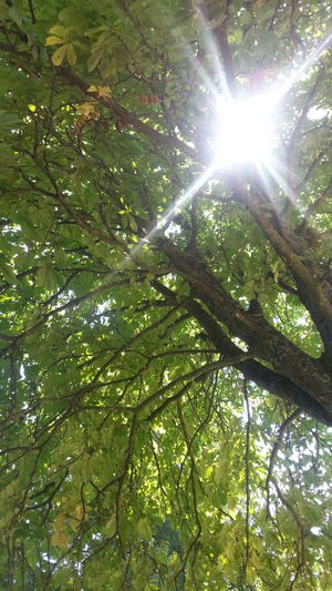 Kastanie EyeEm Nature Lover EyeEm Trees Tree Low Angle View Branch Lens Flare Nature Sunlight Growth Sun Outdoors