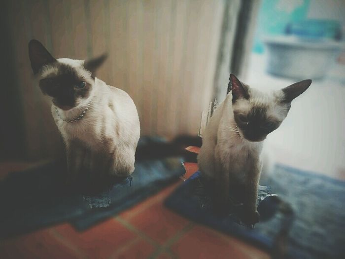 Siamese Cat Siamese Twins Cats Fortheloveofcats