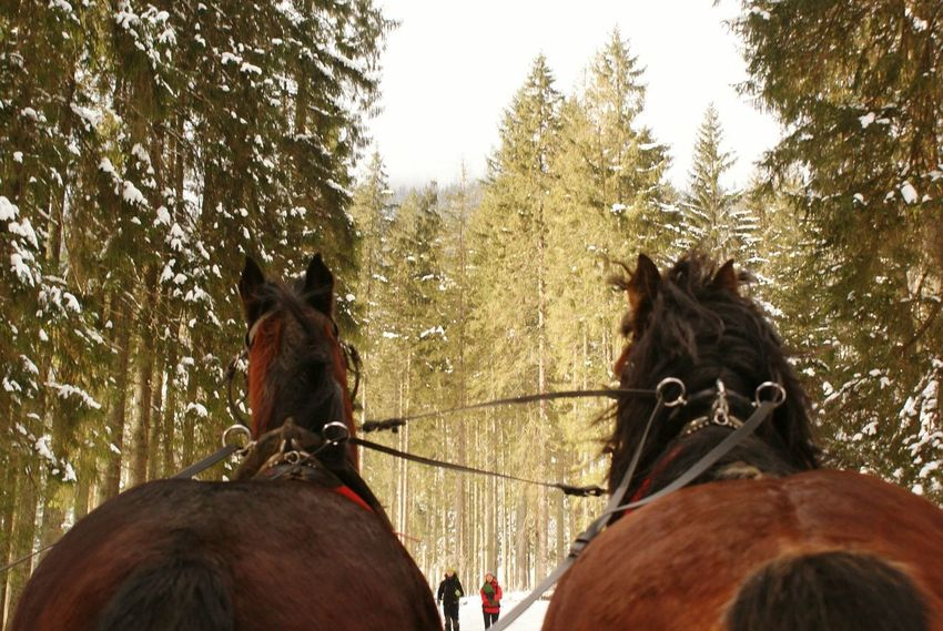 Horse Mammal Domestic Animals Animal Themes Working Animal Tree Herbivorous Outdoors Livestock Day Nature Horse Cart Sky Cold Temperature Alps Pines Beauty In Nature Horses Two Animals Poland Popular