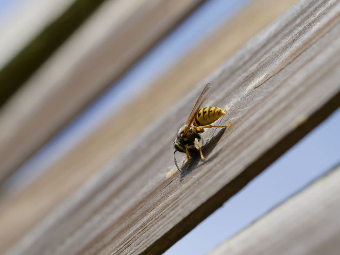 Close-up of wasp on wooden plank