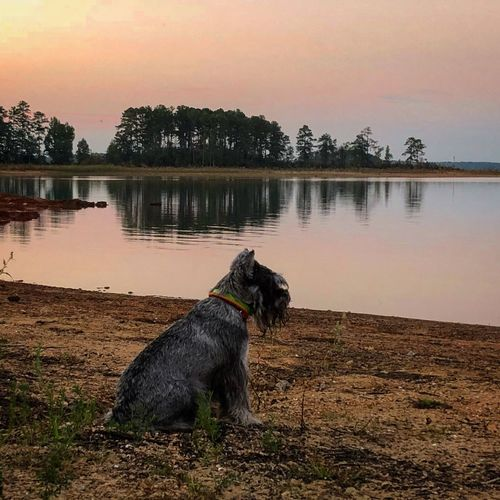 Dog 😚 Pets Sunset Reflection Outdoors Lake Water Nature No People Beauty In Nature Campinglife Autumn Multi Colored Autumn Colors Miniature Schnauzer Zwergschnauzer Minischnauzer Lost In The Landscape