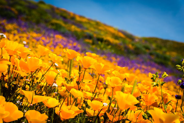 Close-up of fresh yellow flowers blooming in field against sky