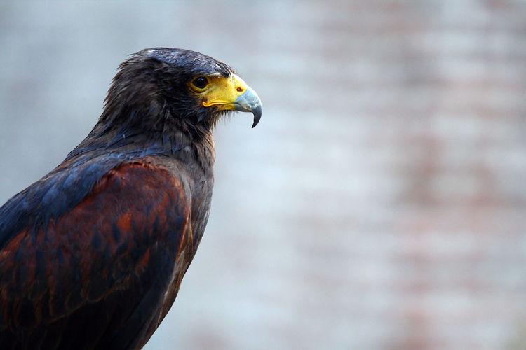 Close-Up Of Prey Bird Looking Away