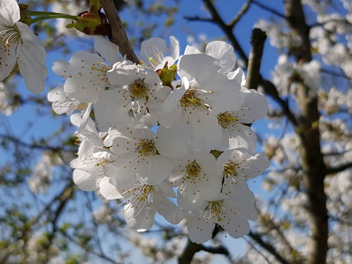 Spring is in the air Tree Flower Flower Head Branch Clear Sky Springtime Blossom White Color Botany Close-up