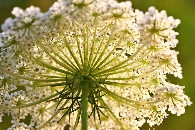 Wild corrot Flower Flowering Plant Plant Fragility Vulnerability  Beauty In Nature Growth Close-up Freshness Nature Flower Head Inflorescence No People Selective Focus Day Focus On Foreground Petal White Color Outdoors Green Color Pollen Low-angle Shot Wild Carrot