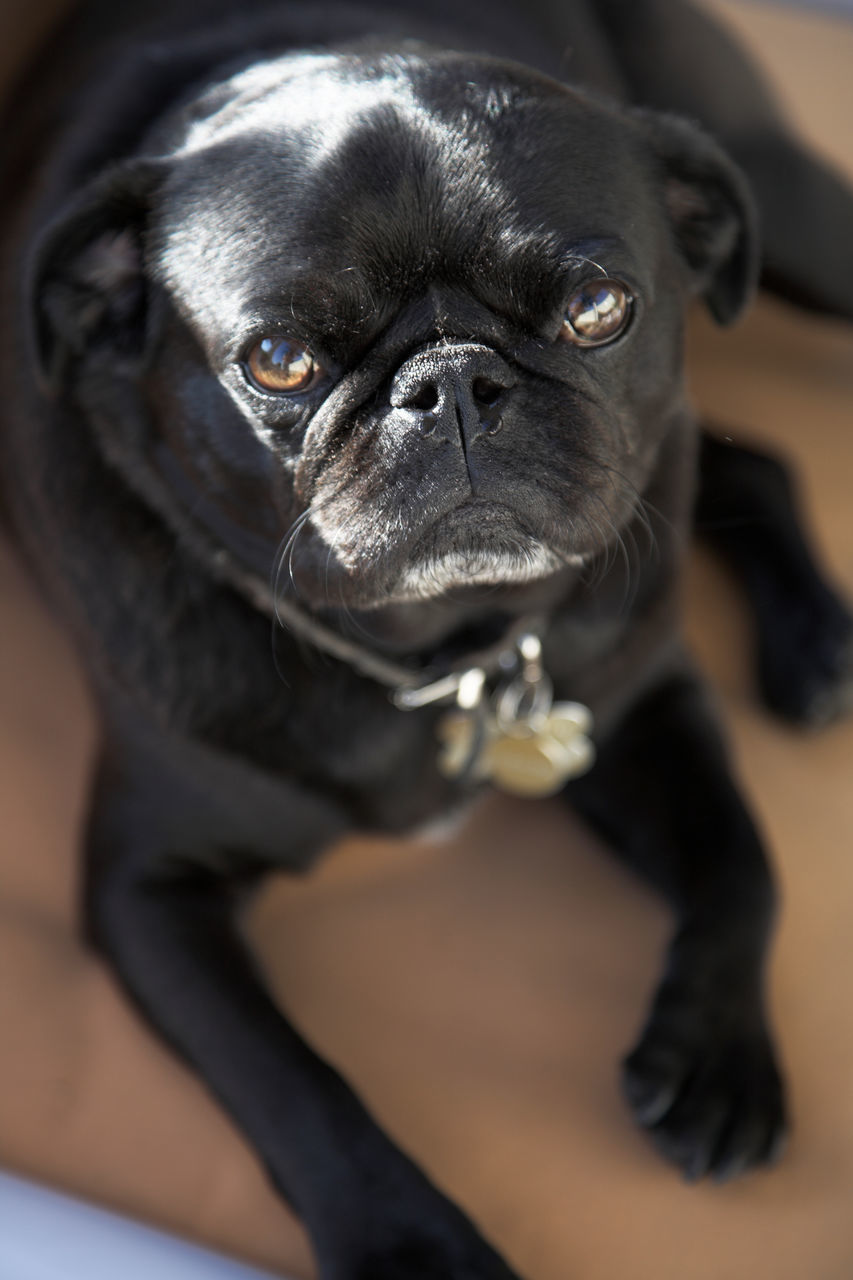 one animal, pets, mammal, domestic animals, indoors, dog, animal themes, no people, close-up, looking at camera, sitting, portrait, day