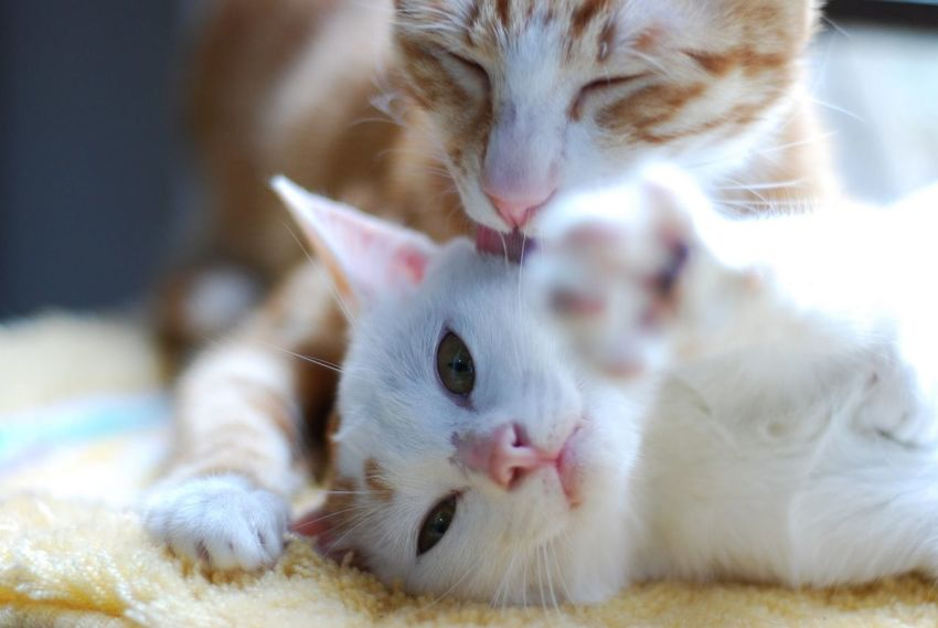Animal Themes Cat Close-up Day Domestic Animals Domestic Cat Feline Indoors  Kitten Mammal No People Pets Whisker