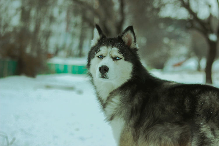 Husky playing in the snow Husky ♡ Animal Animal Themes Canine Cold Temperature Day Dog Domestic Domestic Animals Focus On Foreground Husky Huskyphotography Mammal Nature No People One Animal Pets Siberian Husky Sled Dog Snow Tree Vertebrate Winter