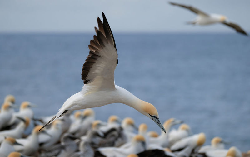 Bird Animals In The Wild Animal Wildlife Spread Wings Animal Themes Water Flying Sea No People Mid-air Day Focus On Foreground Horizon Over Water Beauty In Nature Sea Bird Australasian Gannet Colony Point Danger Portland Victoria
