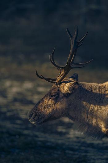 Side view of mule deer