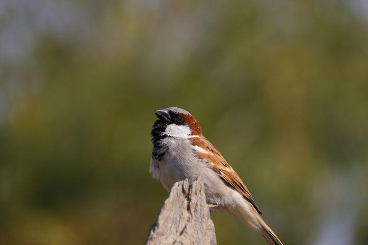 Royalty free sparrow bird , sparrow image, hd