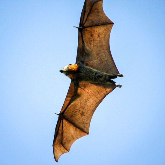 Animal Themes Animal Wildlife Animals In The Wild Bat Clear Sky Close-up Day Flying Fruit Bat Low Angle View Nature No People One Animal Outdoors Sky Spread Wings Tree