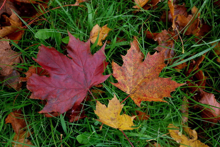 High angle view of maple leaf on grass