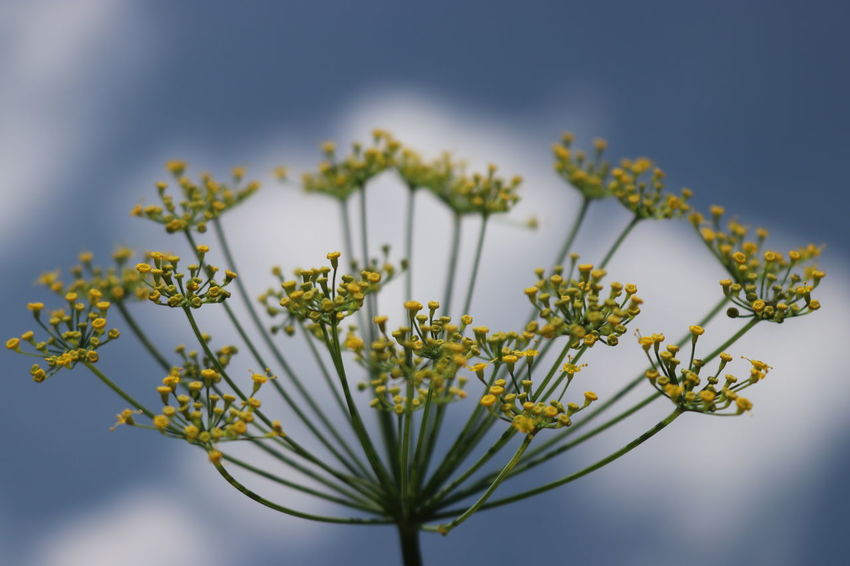 Blooming fennel against a blue sky Flowers Sky And Clouds Sky And Flowers Garden EyeEm Gallery EyeEm Best Shots Backgrounds Blooming Flowers Eyeemphotography EyeEmBestPics Beauty In Nature Close-up Flower Head Flowering Plant Focus On Foreground Fragility Nature No People Petal Plant Selective Focus Sky Vulnerability  Pollen Single Flower Plant Life Botany