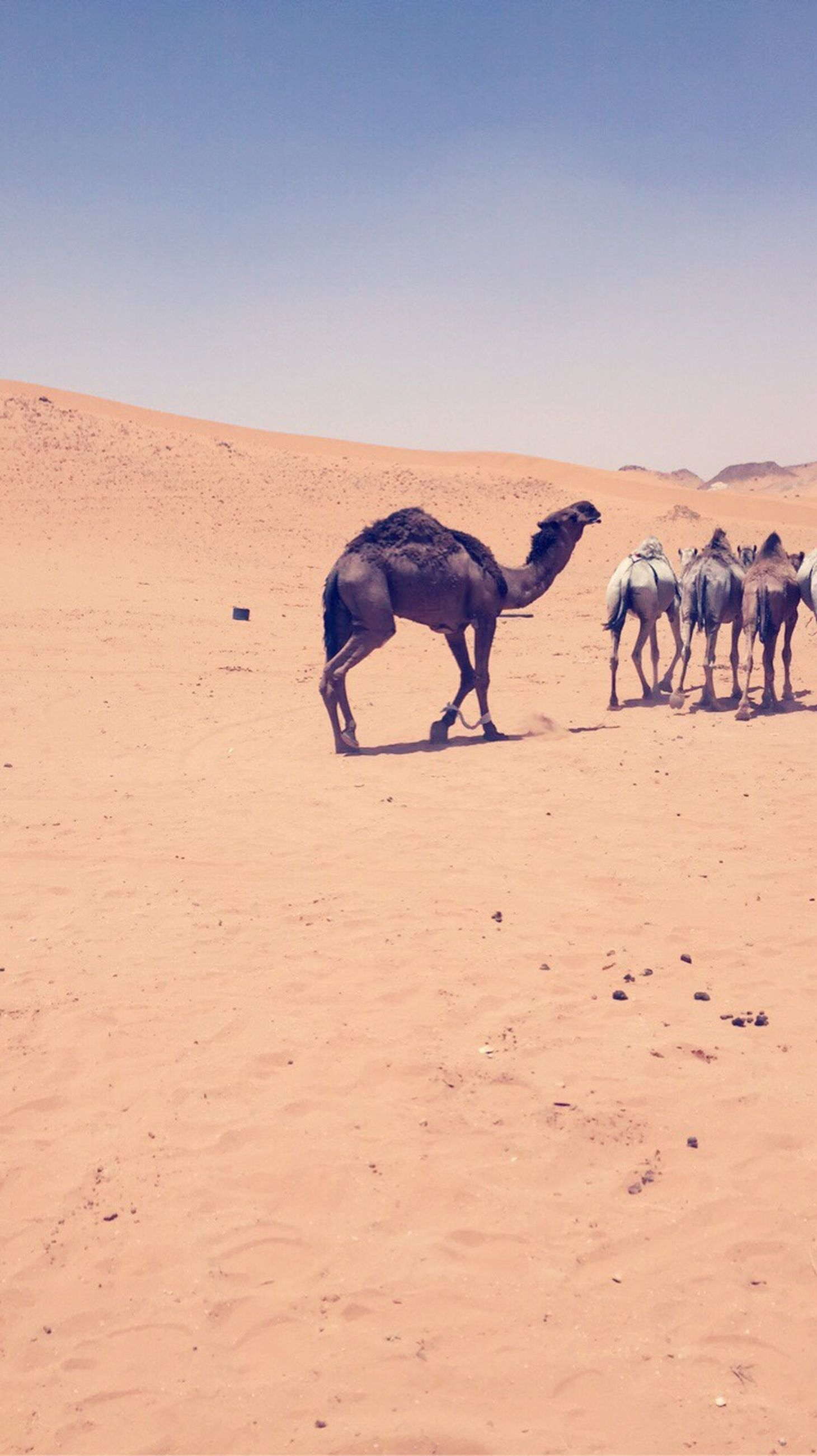 desert, sand, animal themes, mammal, nature, clear sky, outdoors, domestic animals, arid climate, animals in the wild, landscape, sand dune, sky, day, no people, safari animals, beauty in nature