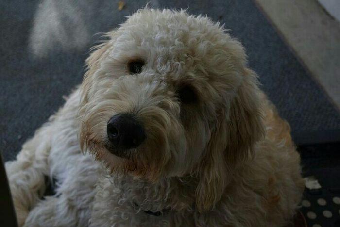 Mason, my golden doodle puppy