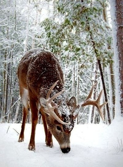 Animal Themes Nature One Animal No People Animals In The Wild Mammal Snow Deer Animal Wildlife Outdoors Winter Antler Day Cold Temperature Tree Moose Beauty In Nature Water